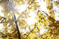 Blommande forsythia (forsythiaintermediaen) Royaltyfri Foto