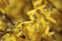 Blommande forsythia (forsythiaintermediaen) Royaltyfri Fotografi