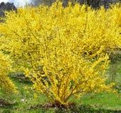 Blommande forsythia i April arkivbilder