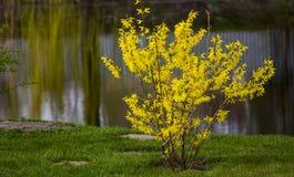 Blommande forsythia i den tidiga våren, guling blommar royaltyfri foto
