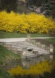 Blommande forsythia på ett damm i en parkera Royaltyfri Foto