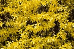 Blommande forsythiabuske med guld- blommor Royaltyfri Fotografi