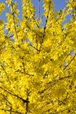 Blommande forsythiabuske med guld- blommor Royaltyfria Foton