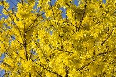 Blommande forsythiabuske med guld- blommor Arkivfoton