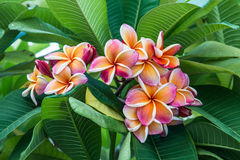 Blommande Frangipaniblomma royaltyfri foto