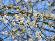 Blommande fruktträd med vita blommor i vårträdgård Fjädra den tid… ron lämnar, naturlig bakgrund Royaltyfri Fotografi