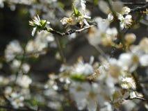 Blommande fruktträd med vita blommor i vårträdgård Fjädra den tid… ron lämnar, naturlig bakgrund Arkivbilder