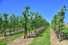 Blommande fruktträdgård i sydlig Nederländerna Arkivbilder