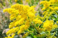 Blommande Goldenrod, Solidagoblomma Arkivfoto