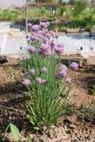 Blommande grön purjolök Royaltyfria Bilder