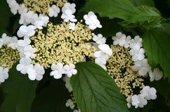 Blommande Guelder-ros (Viburnumopulusen) Fotografering för Bildbyråer
