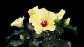 Blommande gul matte för ALFABETISK för hibiskusblommaknoppar, (hibiskusKyoto guling), FULL HD. arkivfilmer