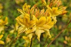Blommande gul rhododendron Royaltyfri Bild
