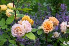 Blommande gula orange engelska rosor i trädgården på en solig dag `-Charles Austin ` steg Royaltyfria Bilder