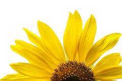 Blommande gula solrosor på den vita bakgrundsisolaten Arkivbild