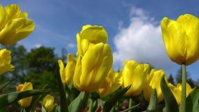 Blommande gula tulpan på en bakgrund för blå himmel, closeup av tulpan som svänger i vinden lager videofilmer