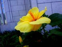 Blommande guling arkivfoto