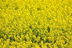Blommande gult rapsfröfält Arkivbilder