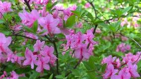 Blommande härliga rosa rhododendroner i trädgården arkivfilmer
