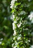 Blommande hagtorn i en naturlig miljö Arkivfoto