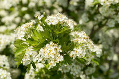 Blommande hagtornbuske Arkivbild