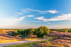 Blommande heathland med vägen på den holländska Veluwen royaltyfri bild
