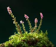 Blommande hedtuva royaltyfri foto