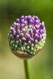Blommande huvud av lökblomman i trädgård, vårtid arkivbilder
