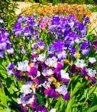 Blommande iriers i den Nikitsky botaniska trädgården crimea arkivfoto