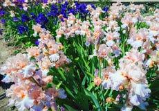 Blommande iriers i den Nikitsky botaniska trädgården crimea arkivbilder