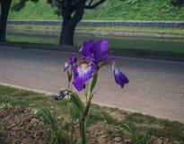 Blommande iris i parkera Royaltyfria Bilder