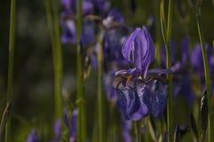 Blommande irisskog Fotografering för Bildbyråer