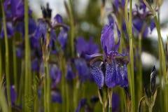 Blommande irisskog Arkivbild