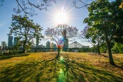 Blommande jakaranda i Brisbane Australien Royaltyfri Foto