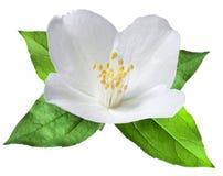 Blommande jasminblomma med sidor Fotografering för Bildbyråer