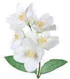 Blommande jasminblomma med sidor Royaltyfri Foto