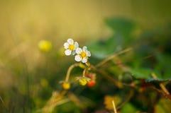 Blommande jordgubbe bland gräset Fotografering för Bildbyråer