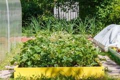 Blommande jordgubbebuskar Fotografering för Bildbyråer