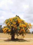 Blommande julgran med orange blommor, västra Australien Arkivbilder