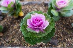 Blommande kålar i en trädgård Fotografering för Bildbyråer