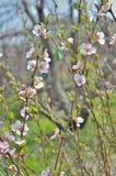 Blommande körsbär-träd 10 Royaltyfri Foto