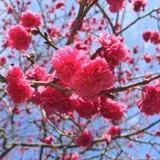 Blommande körsbärsröd blomning Royaltyfria Bilder