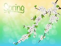 Blommande körsbärsröd filial för vår med vita blommor Arkivfoton