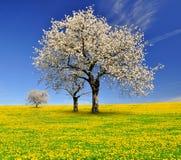 Blommande körsbärsröda träd Arkivbild