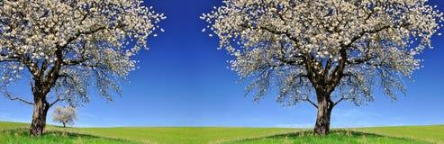 Blommande körsbärsröda träd på äng fotografering för bildbyråer