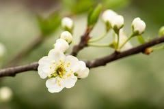 Blommande körsbärsrött träd Arkivbilder