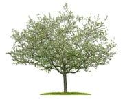 Blommande körsbärsrött träd på en vit bakgrund arkivfoto