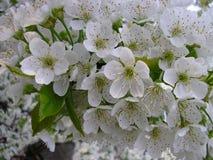 Blommande körsbärträd i vår Vår börja som är nytt Royaltyfri Fotografi
