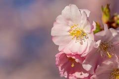 Blommande k?rsb?rsr?tt tr?d i v?r rosa fj?der f?r blommor arkivfoton