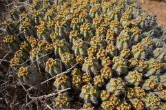 Blommande kaktus Royaltyfri Bild